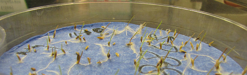 rye grass seeds sprouting in a petri dish