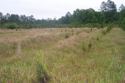Photo: Decreased pine growth and survival in cogon grass infested portions of pine plantation