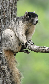 Photo: Fox squirrel