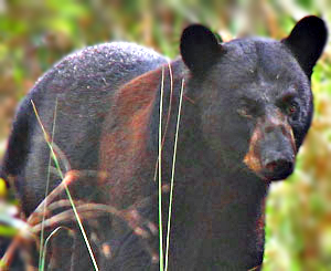 PHOTO: Black Bear.