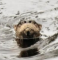 Photo: River otter