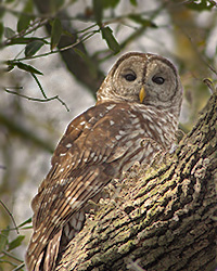 PHOTO: Barred Owl