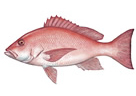 Image: Red Snapper