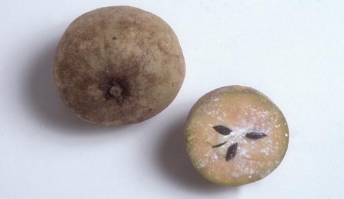 sapodilla fruit fruit in season