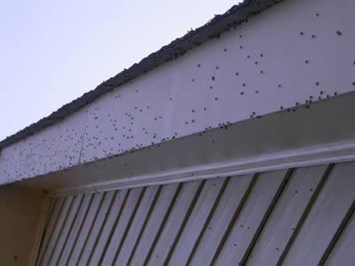 Aggregations of bean plataspids on homes