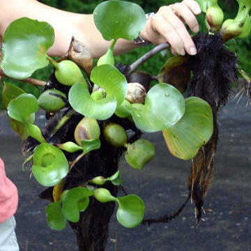 Eichhornia crassipes, water hyacinth / Noxious Weeds ...