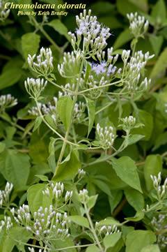 Chromolaena odorata  Jack-in-the-bush Chromolaena Odorata Leaf