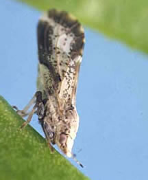 Asian citrus psyllid adult